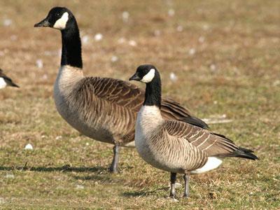 Goose-AngusWilson-OceanWand
